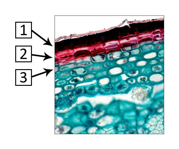 Cross seciton of cellular plant material identifying the three layers of the periderm.