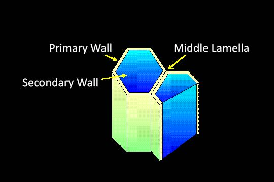 Schematic representation of a pair of cells with the Primary Wall, Secondary Wall, and Middle Lamella pointed out, and the large vacuole illustrated.