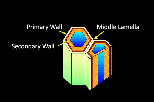 Schematic representation of a pair of cells with the Primary Wall, Secondary Wall, and Middle Lamella pointed out. The structure of the secondary wall with the addition of lignin is shown within the vacuole.