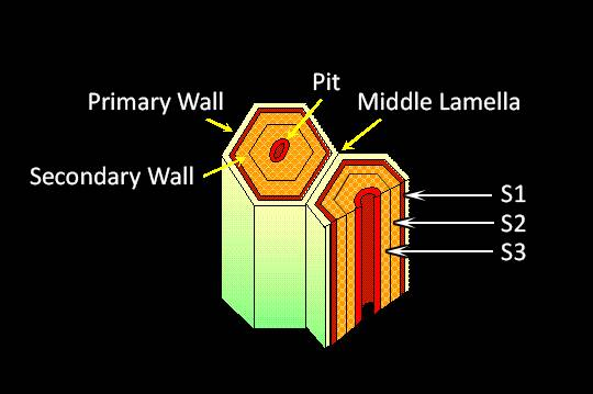 Schematic representation of a pair of cells with the Primary Wall, Secondary Wall, Middle Lamella, and the Pit pointed out. Three layers of the secondary wall are pointed to.