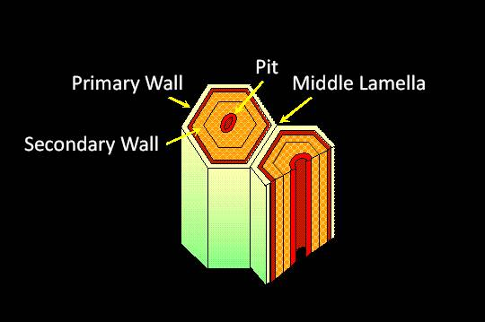 Schematic representation of a pair of cells with the Primary Wall, Secondary Wall, Middle Lamella, and the Pit pointed out.