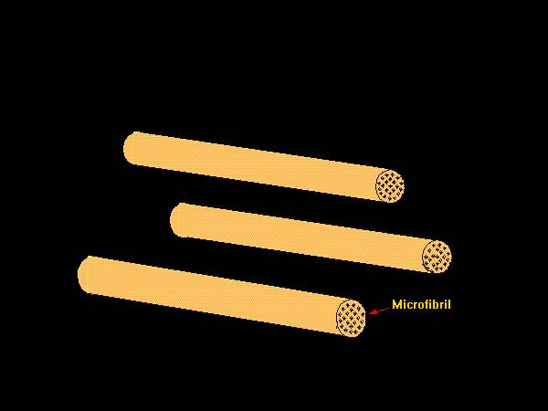 Illustration showing a schematic representation of the microfibrils of the primary cell wall.