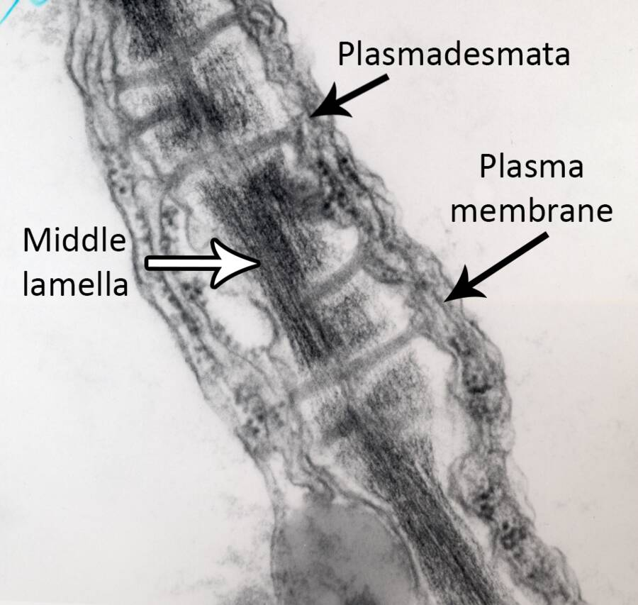 Photo of two cells pointing out the Plasmadesmata, Middle lamella, and Plasma membrane.