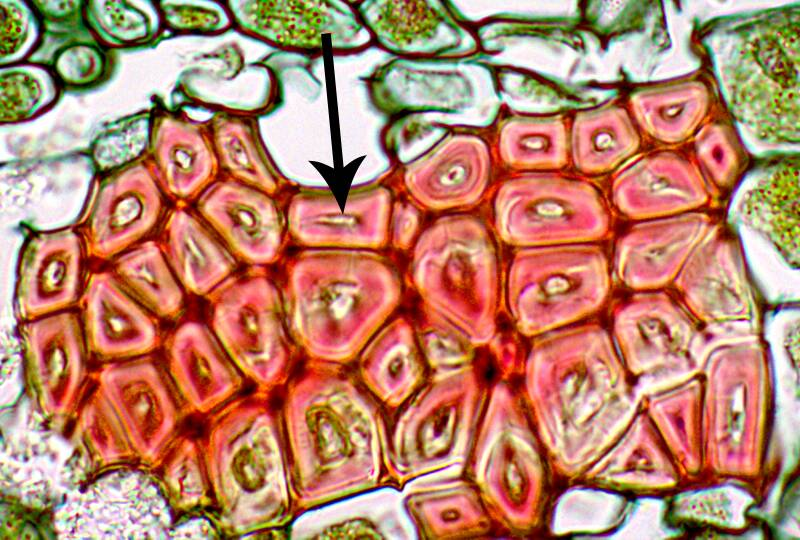 One of two photos showing phloem and xylem fibers.