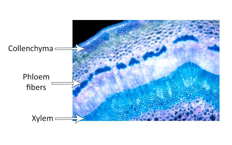Cross section photo of English ivy with collenchyma, phloem fibers, and xylem pointed out.
