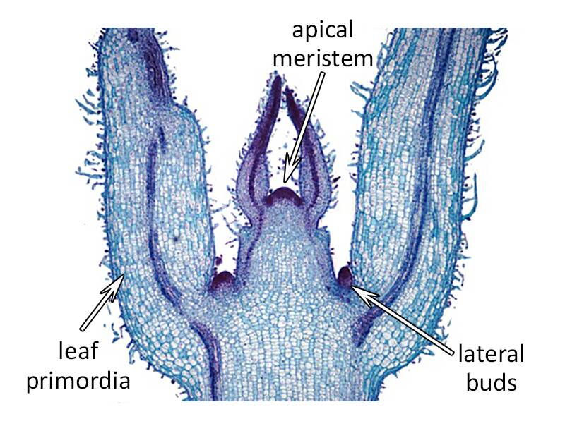 Cross section photo of an shoot tip, pointing out the apical meristem, leaf primordia, and lateral buds.
