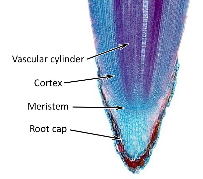 Cross section photo of a root meristem pointing out the vascular cylinder, cortex, meristem, and root cap.