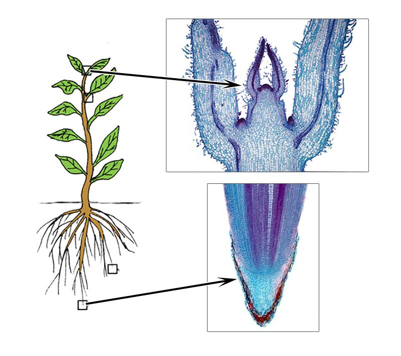 Illustration of a plant showing both roots and shoots, with close up photos showing the meristems.