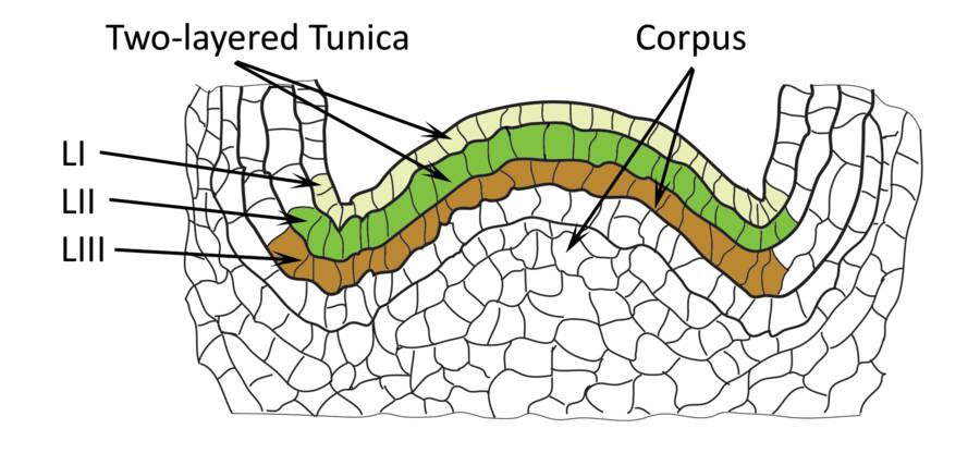 Close up illsutration of a dicot shoot meristem, pointing out layers L-I, L-II, and L-III. It indicates that the upper layers L-I and L-II are part of the two-layered tunica, while the lowest layer L-III is part of the corpus.