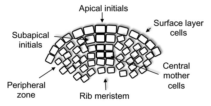 An illustration of a gymnosperm meristem pointing out the surface layer cells, apical initials, subapical initials, central mother cells, peripheral zone, and rib meristem.