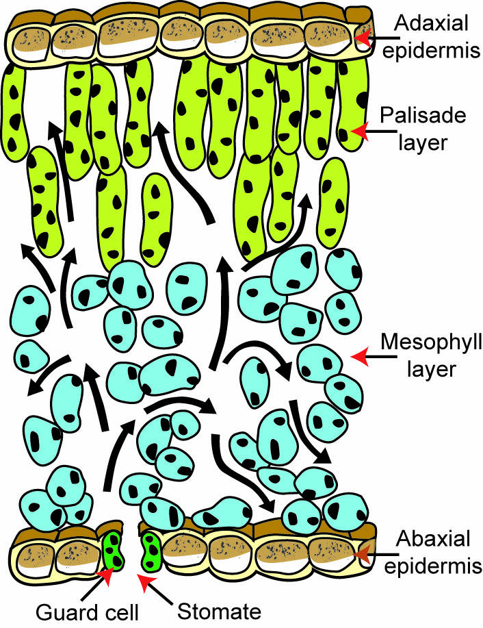 Illustration of plant material cross-section pointing out adaxial epidermis, palisade layer, mesophyll layer, and abaxial epidermis with stomate and guard cells.