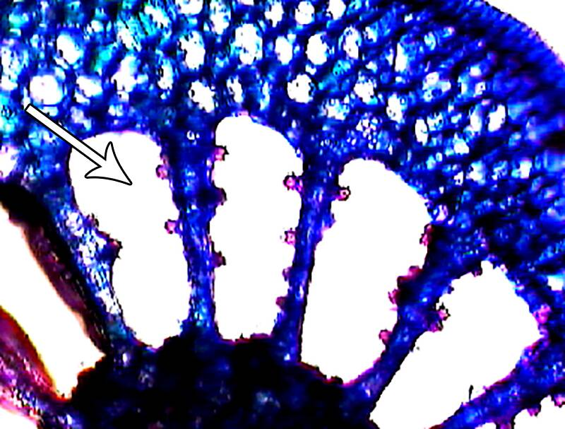Close up showing the aerenchyma of the Myriophyllum (Parrot feather).