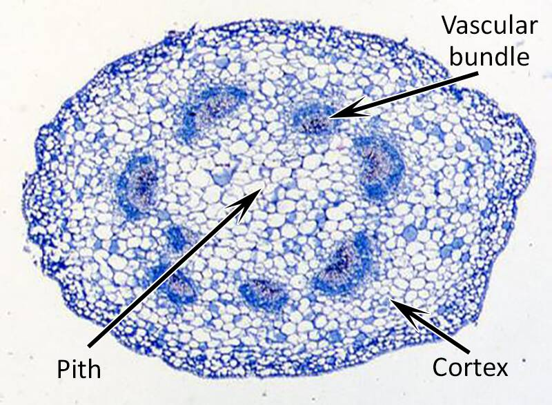 Photo of the cross-section of a plant stem, with the pith, cortex, and vascular bundles pointed out.-