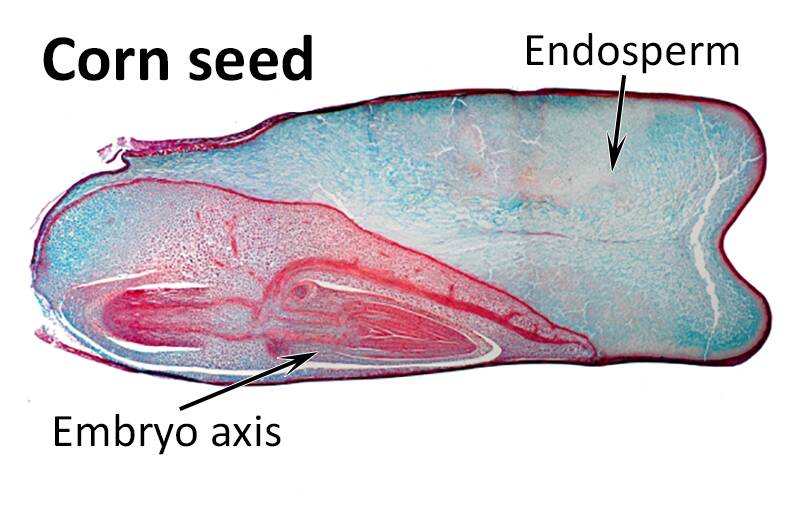 Cross-section of a corn seed with the endosperm and embryo axis pointed out.