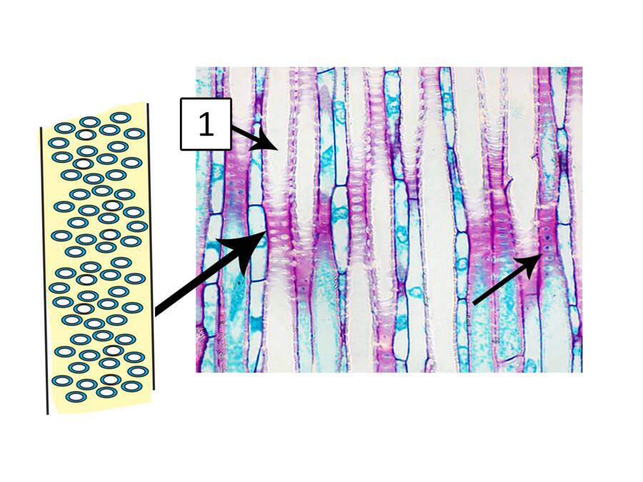Image showing how sidewall pits form connections between xylem elements.