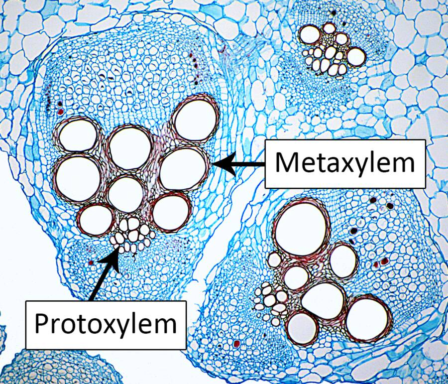 Photo showing the protoxylem and metaxylem of primary xylem.