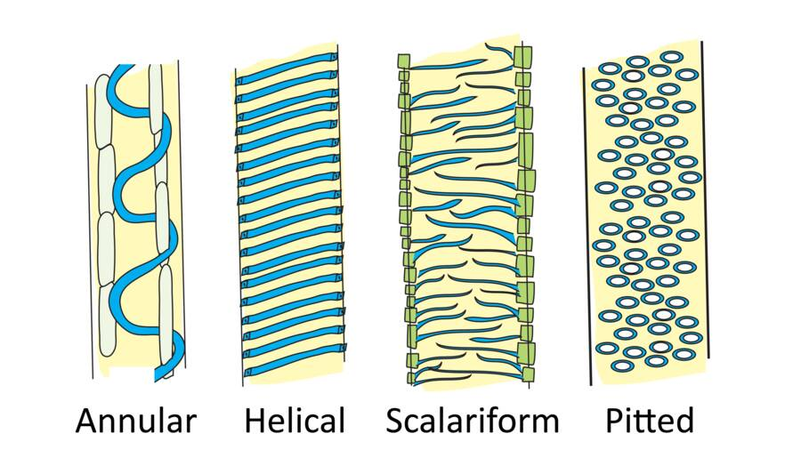 Illustration showing structural appearance of secondary walls; annular, helical, scalariform, and pitted.