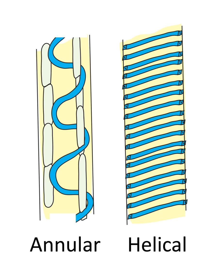 Illustration of protoxylem showing annular and helical secondary wall thickening.