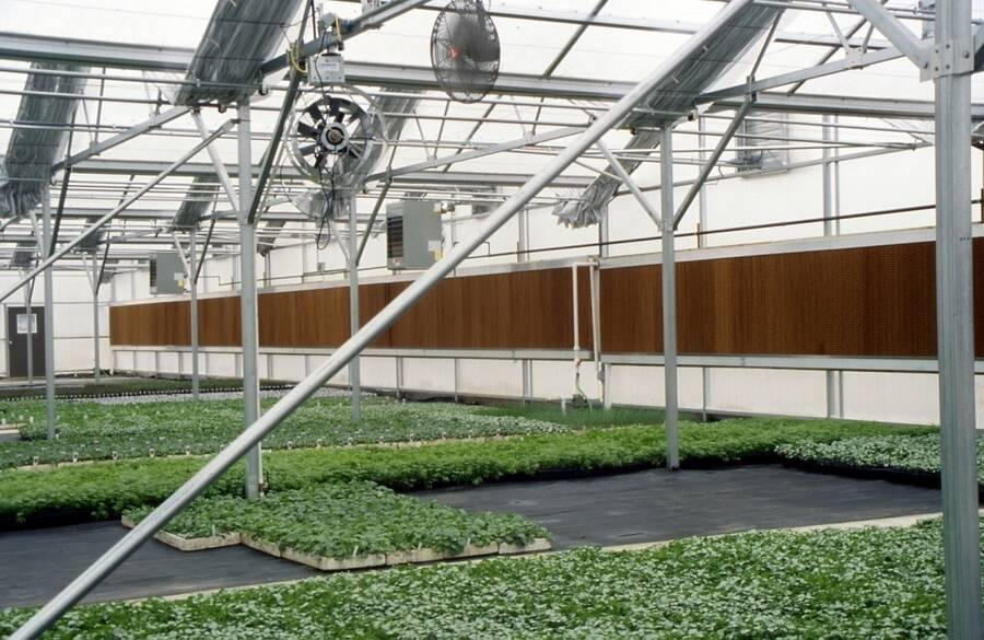 Photo of pad and fan cooling in a greenhouse.