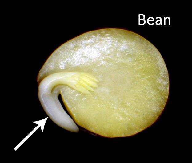 Photo of a bean seed showing the embryo.