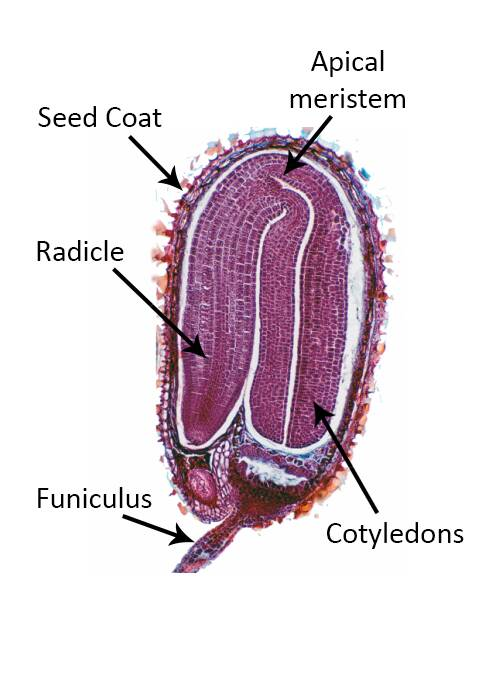 Micrograph of the cross section of a developing seed, with the funiculus, radicle, seed coat, apical meristem, and cotyledons identified.