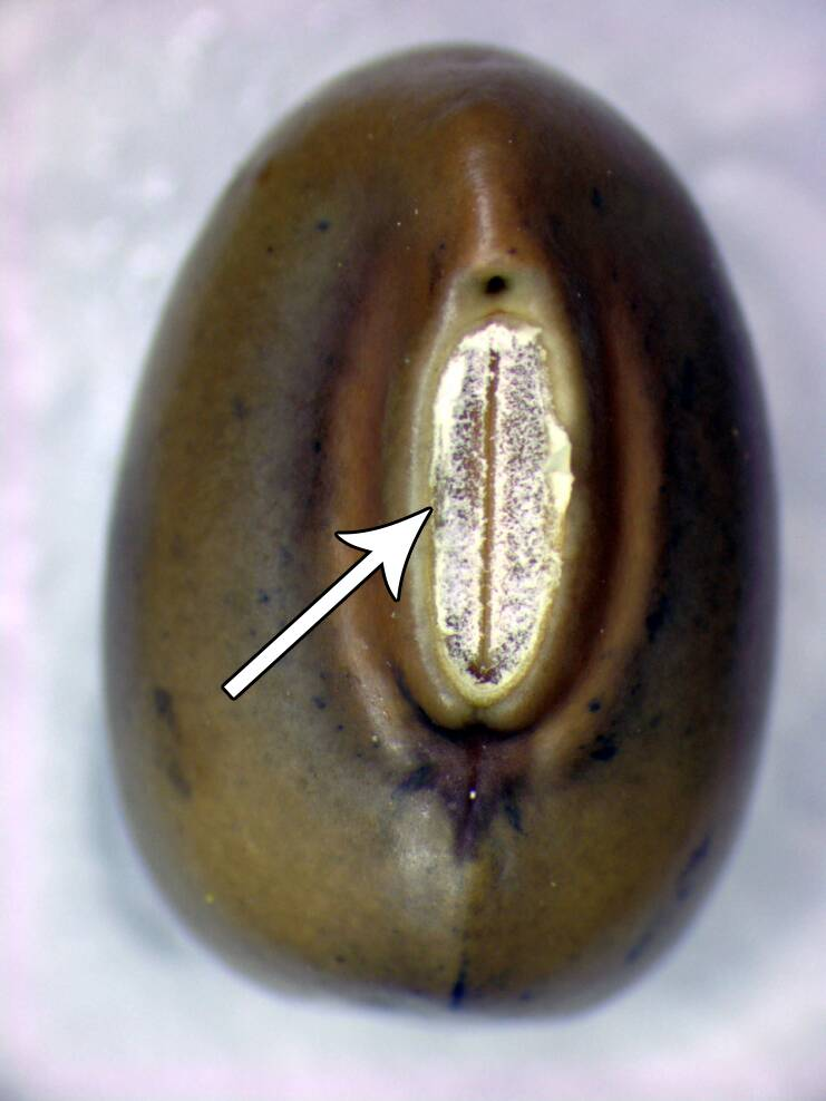 Photo of a second seed with the hilum identifed. It's appearance is slightly different than in the first seed.
