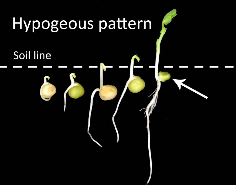 Photo showing a time lapse example of hypogeous germination, with the cotyledon shown below the soil line.