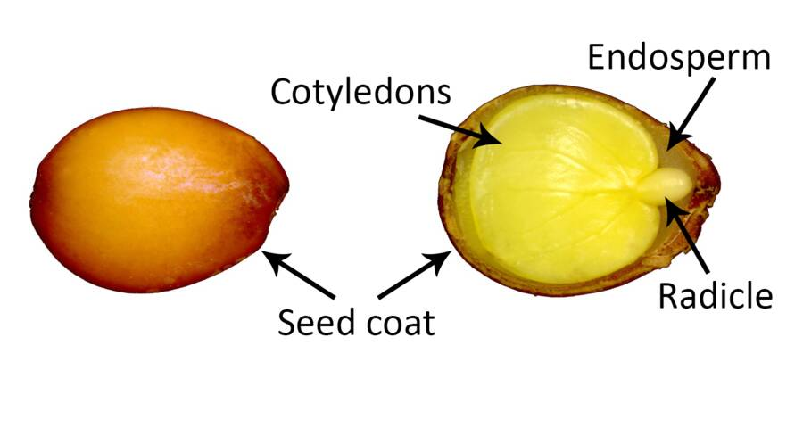 Photos of a seed and a cross section of a seed shown. The seed coat, cotyledons, endosperm, and radicle are identified.