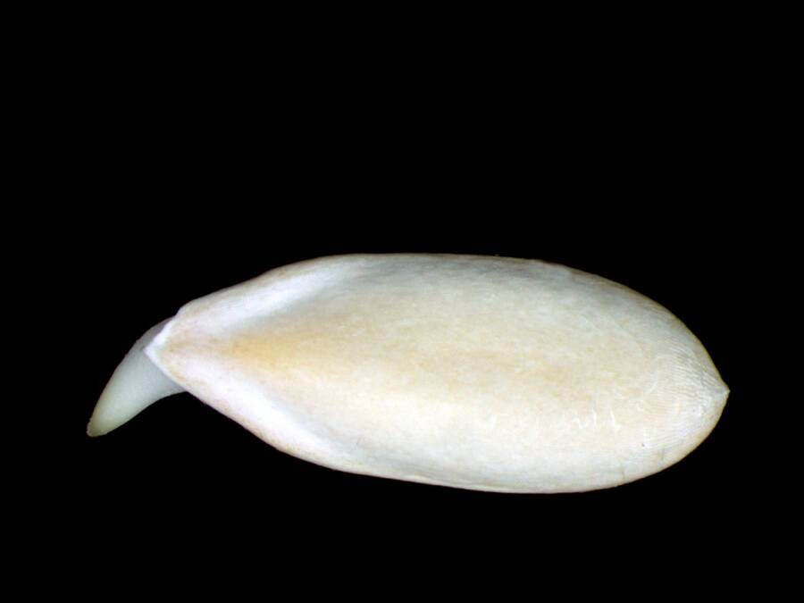 Photo of cucumber seed.