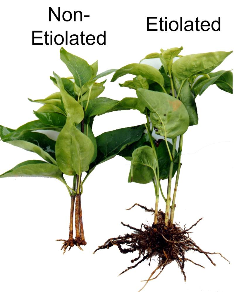 A photo of two lilac cultivars, one etiolated, the other not. The etiolated one has much more vigorous root growth.