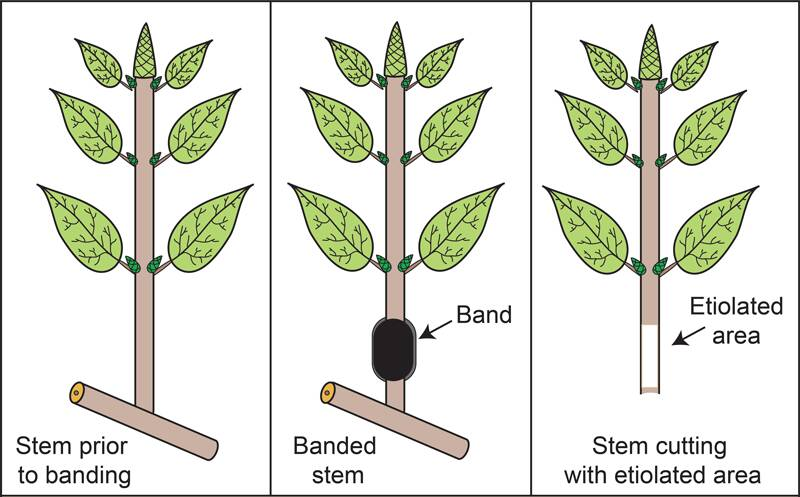 Cartoon depiction of banding a stem to create an etiolated area on the cutting.