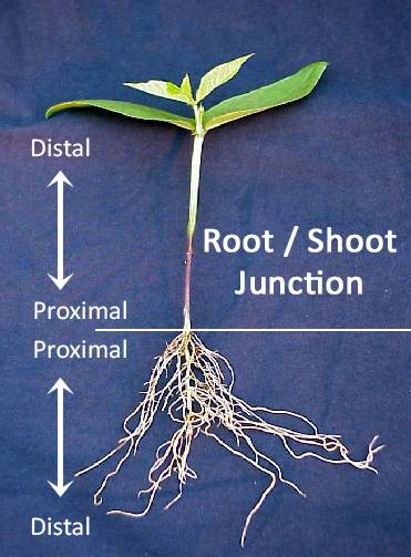 Photo of a seedling which identified the root/shoot junction spliting the plant in half with the top half being the stem with leaves forming, while the bottom half forms the roots. The tips of the leaves and the roots are both identified as distal, while where they join together is identified as proximal.