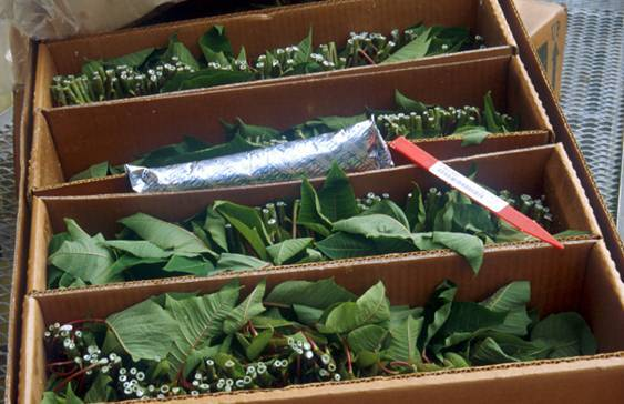 Photo of packaged herbaceous cuttings with ice pack.