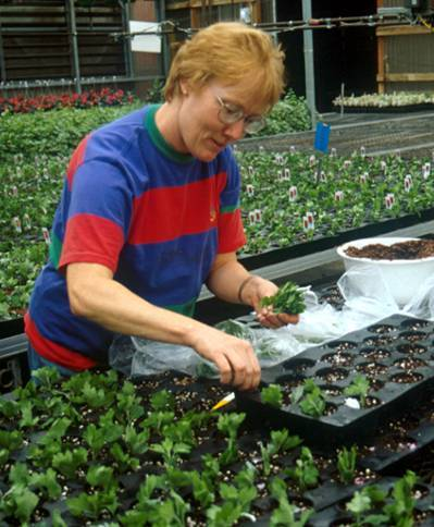 Worker sticking herbaceous cuttings into flats of growing medium.