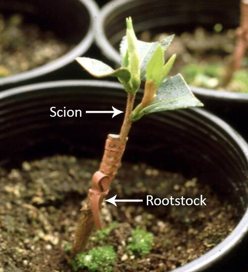 Photo of a graft with the scion and rootstock identified.