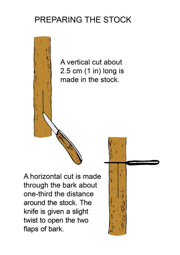 Illustration showing the preparation of stock for T-budding. Image shows two steps. The first step shows a vertical cut about 2.5cm (1 in) long is made in the stock. The second step shows a horizontal cut is made through the bark about one-third the distance around the stock. The knife is given a slight twist to open the two flaps of bark.