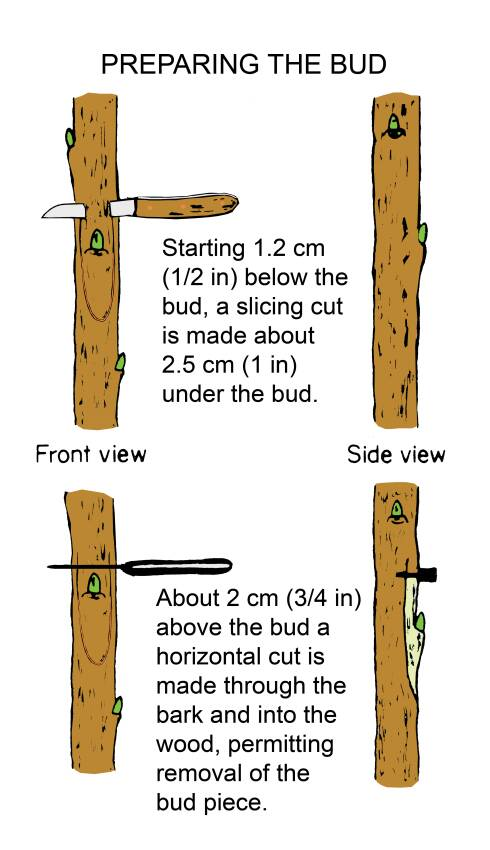 Illustration shwoing two steps for preparing the bud, from a front and side view. Step one shows starting 1.2 cm (1/2 in) below the bud, a slicing cut is made about 2.5 cm (1 in) under the bud. Step two shows about 2 cm (3/4 in) above the bud a horizontal cut is made through the bark and into the wood, permitting removal of the bud piece.