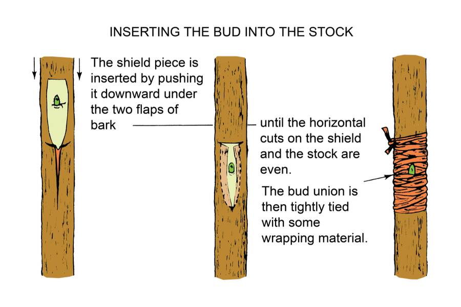 Illustration showing the insertion of the bud into the stock in three steps. The first step shows the shield piece being inserted by pushing it downward under the two flaps of bark. The second step shows step one being done until the horizontal cuts on the shield and the stock are even. Step three shows the bud union then being tightly tied with some wrapping material.