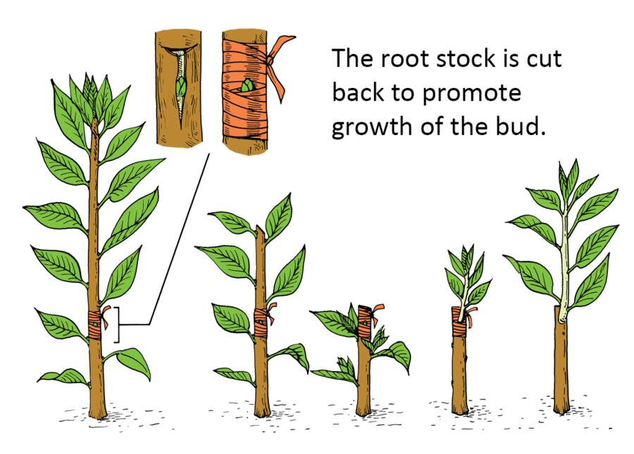 Illustration showing the rootstock being cut back to promote growth of the bud.
