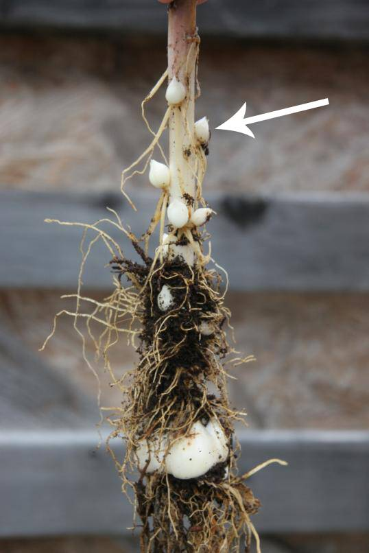Photo of a lily bulb, with developing bulblets identified.