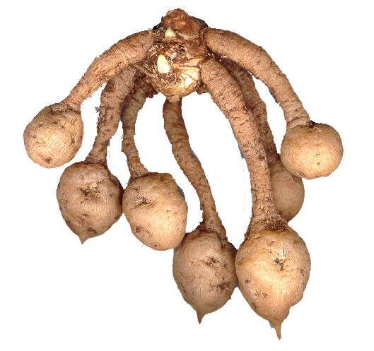 Photo of Cucurma stolons with tubers at the ends.