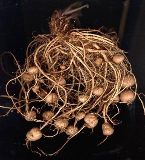 Photo of Phlomis roots with tubers.