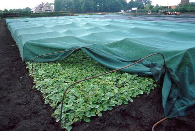 Photo of transplants in a field with shading partially pulled back to reveal plants.