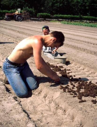 Photo of workers planting begonia tuberous stems in an outdoor field.