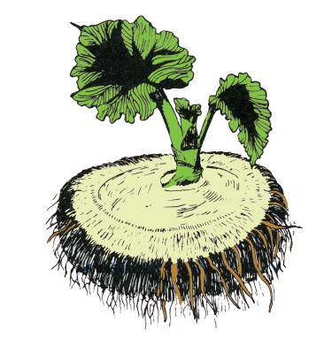 Illustration of a Tuberous begonia seedling plant.