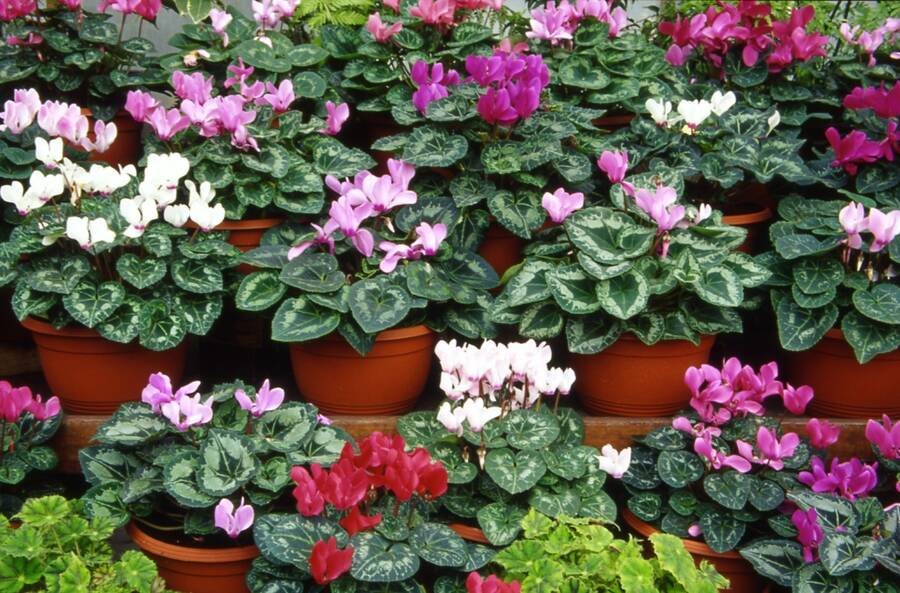 Photo of Cyclamen flowers in pots.