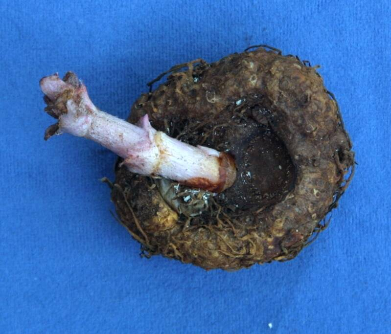 Photo of a Begonia xtuberhybrida tuberous root with a shoot emerging.
