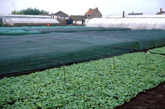 Photo of partially covered field of tuberous begonia plants.