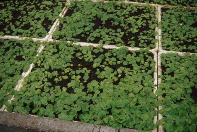 Photo of tuberous begonia seedlings in Styrofoam trays.