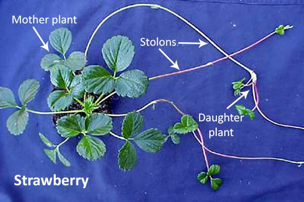 Photo of a strawberry plant pointing out the mother plant, and the stolon runners, with daughter plants at the tips.